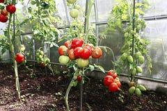Maduración de los tomates verdes y rojos Imágenes de archivo libres de regalías