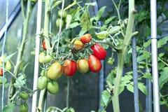 Maduración de los tomates verdes y rojos Fotografía de archivo