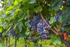 Maduración de manojos de uvas en el primer de la vid Imagen de archivo libre de regalías
