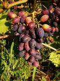 Maduración en una rama de un manojo de uvas azules imágenes de archivo libres de regalías