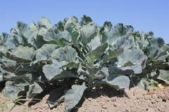 Maduración de la cosecha de la coliflor Imagen de archivo libre de regalías