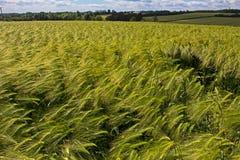 Madurando, trigo azotado por el viento en campo grande Imagenes de archivo