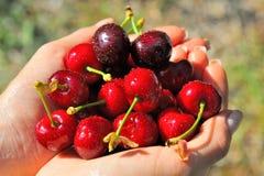 Madure las cerezas en las manos de los girl´s Foto de archivo