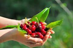 Madure las cerezas en las manos de una muchacha Fotos de archivo