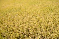 Madure por completo el arroz de arroz de oro en otoño Foto de archivo libre de regalías