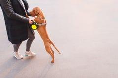Madziarski Vizsla trakenu pies bawić się z właścicielem podczas gdy chodzący wokoło miasta Migdali pojęcie zdjęcie stock