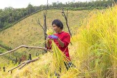 Mae Hong Son, Tailandia 7 novembre 2017: agricoltori che raccolgono riso Fotografia Stock