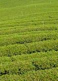 Mae Salong小山的,清莱,泰国茶园 库存图片