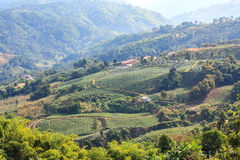 101 mae salong山的,清莱,泰国茶园 库存图片