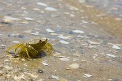 Maenas van Carcinus, de krab van de Kust Royalty-vrije Stock Foto's