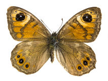 Maera Lasiommata Στοκ Φωτογραφίες
