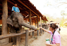 Maesa大象阵营,泰国 免版税库存照片
