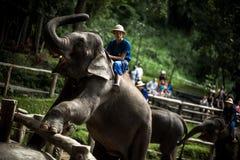Maesa-Elefant-Lager Stockbilder