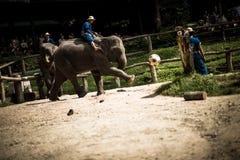 Maesa elefantläger Royaltyfria Bilder