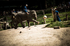 Maesa Elephant Camp Royalty Free Stock Images