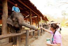 Maesa Elephant Camp, Thailand Royalty Free Stock Photo