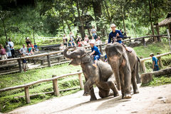 Maesa słonia obóz obrazy royalty free