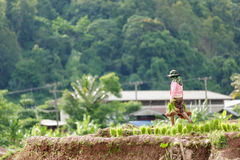 Maesot, Tak, Thailand, 25 Juni, 2016: Myanmar landbouwer collec Royalty-vrije Stock Fotografie
