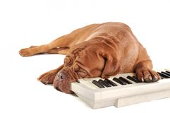 Maestro Sleeping Royalty Free Stock Images