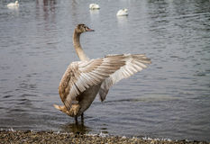 Maestro. Swan trains wings before flight Royalty Free Stock Photography