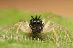 Maevia-inclemens Dimorphic springende Spinne Lizenzfreie Stockfotos