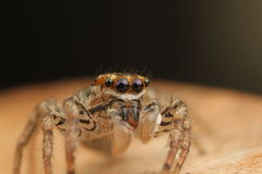 Maevia-inclemens u. x28; Dimorhic, das Spider& x29 springt; Lizenzfreies Stockbild