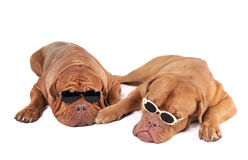 Mafia Dogs Stock Photos