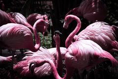 Mafiosos do flamingo Imagem de Stock Royalty Free