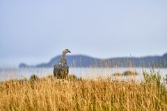 Magallanica Bustard in the Tierra del Fuego National Park in the rain. Argentine Patagonia in Autumn Stock Photo