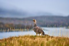 Magallanica Bustard in the Tierra del Fuego National Park in the rain. Argentine Patagonia in Autumn stock photos