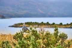 Magallanica Bustard in the Tierra del Fuego National Park in the rain. Argentine Patagonia in Autumn Royalty Free Stock Photo