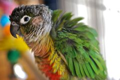 Magana the Costa Rican Macaw Stock Photos