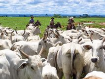 Cattleman. Magda, Sao Paulo, Brazil, March 08, 2006: The cowboy leads a group of Nelore cattle being herded through a wet field in a cattle farm in Magda, county royalty free stock photos