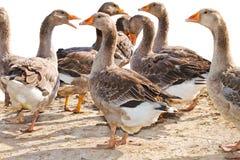 Mage d'un troupeau des oies sur la ferme avicole Image stock
