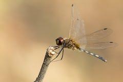 Mage der Libelle gehockt auf einem Baumast Stockfotos