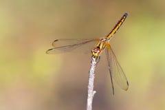 Mage der Libelle gehockt auf einem Baumast Stockbild
