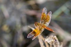 Mage der Libelle gehockt auf einem Baumast Lizenzfreie Stockbilder
