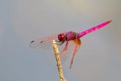 Mage der Libelle gehockt auf einem Baumast Lizenzfreies Stockfoto