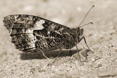 Mage do close up de um semele de Hipparchia da borboleta do timalo no sepi Fotografia de Stock