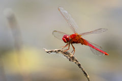 Mage of dragonfly perched on a tree branch. Royalty Free Stock Images