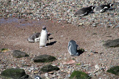 Magelan penguins colony Royalty Free Stock Images