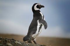 Magelanic企鹅 免版税图库摄影