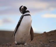 Magelanic pingvin Arkivfoton