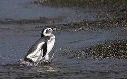 Magelhaenpinguin, Magellanic-Pinguïn, Spheniscus-magellanicus stock afbeelding