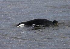 Magelhaenpinguin, Magellanic pingwin, Spheniscus magellanicus obrazy stock