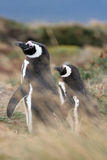 Magellan企鹅夫妇, Punta竞技场,智利 免版税库存图片