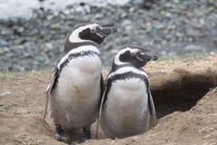 magellan пингвины Стоковое Изображение