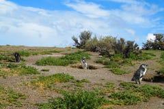 magellan пингвины Стоковая Фотография RF