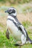 magellan пингвин Стоковые Изображения RF