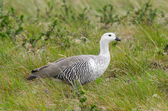 Magellan Goose Royalty Free Stock Photography